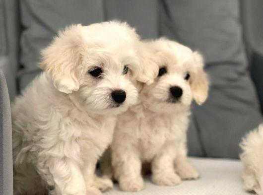 Yavru Sfkan Maltese Terrier