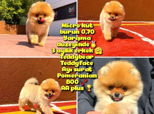 0,70 Mikro Küt Burun Teddyface Ödül Adayı AA Plus Safkan Boo Pomeranian