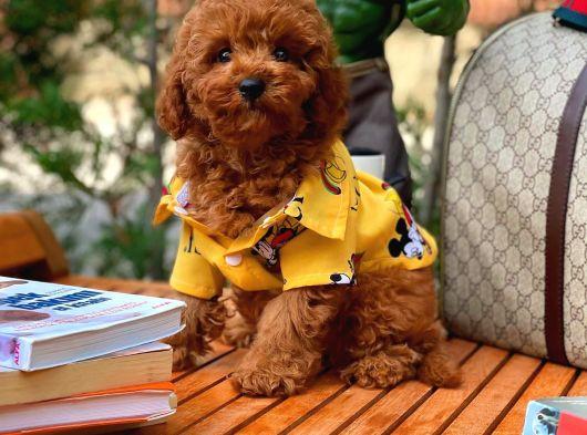 Irk ve sağlık garantili red toy poodle yavrumuz