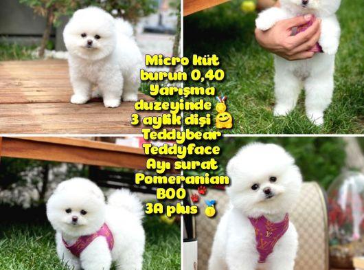 0,40 Mikro Küt Burun Teddyface Ödül Adayı AA Plus Safkan Boo Pomeranian @Yavrupatiler