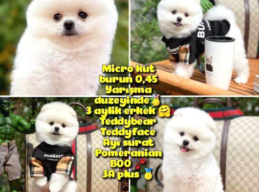 0,405 Mikro Küt Burun Teddyface Ödül Adayı AA Plus Safkan Boo Pomeranian @Yavrupatiler