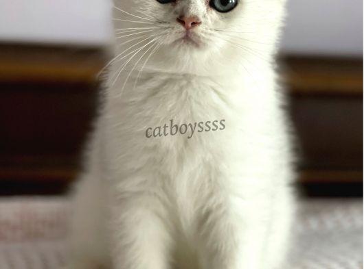 Silver shaded scottish fold erkek yavru (Anne baba Secereli)