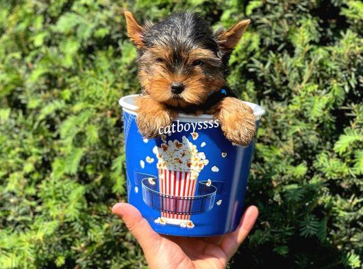 Safkan yorkshire terrier erkek yavru @catboyssss da
