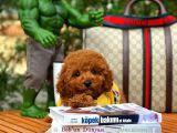 Toy Poodle Zeki Oyuncu Sevimli Enerjik