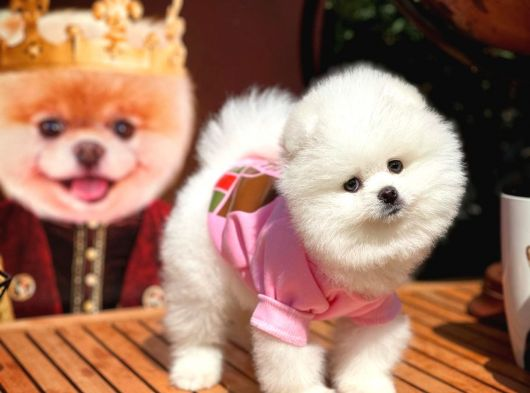 Güzeller güzeli Pomeranian Boo yavrumuz