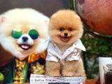Güleryüzlü Şirin Pomeranian Boo yavrumuz