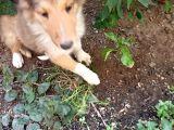 Dünya'nın En Zeki Köpek Irklarından Rough Collie