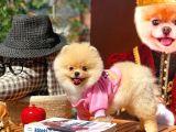 Oyuncu Karakter Yapısına Sahip Pomeranian Yavrularımızdan