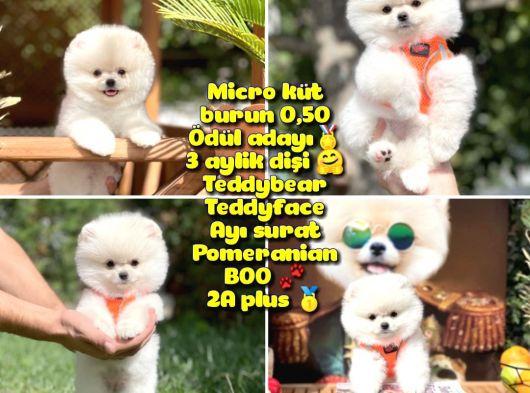 0,40 Mikro KÜT burun Ödül Adayı SAFKAN 3A PLUS Safkan Boo Pomeranian @yavrupatiler