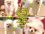 0,50 Mikro KÜT burun Ödül Adayı SAFKAN 3A PLUS Safkan Boo Pomeranian @yavrupatiler