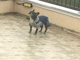 Sevimli,uysal French Bulldog
