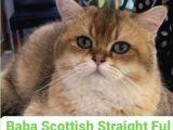 Scotih Longhair Gold straight