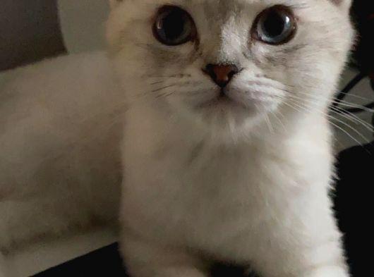 British [ Yavru Kedi ] 5 Aylık, Aşıları TAM