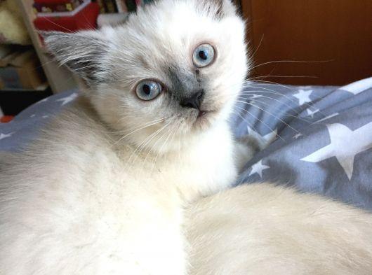 2 aylık blue point yavru kedimiz yeni yuvasını arıyor