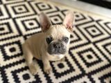 French Bulldog Yavruları SCR Belgeli