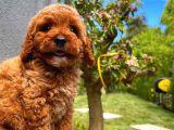 Toy Poodle Erkek Yavrumuz Gordons