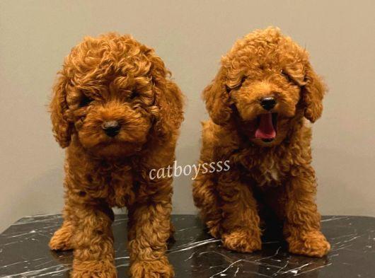 Baby face red brown toy poodle erkek yavrular @catboyssss da