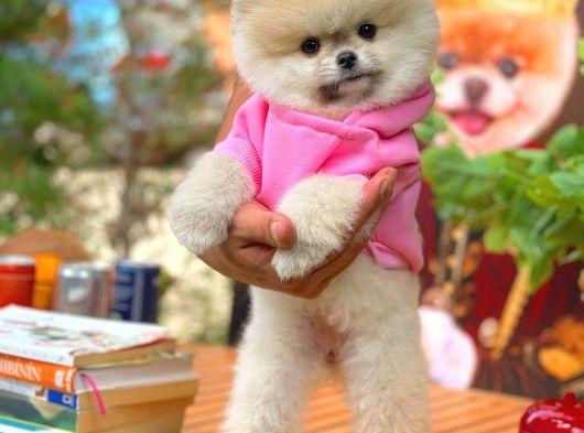 Fci Secereli yarışma düzeyi Pomeranian boo yavrumuz
