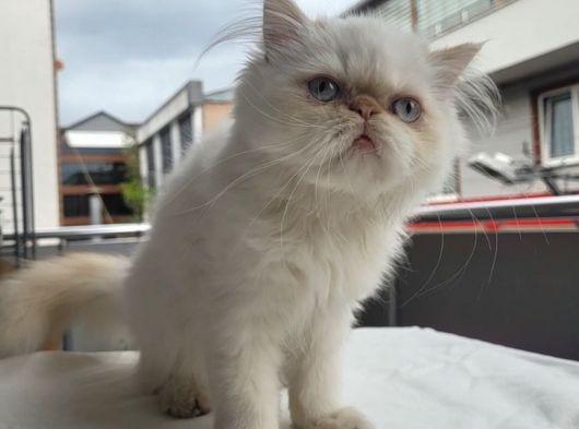 Safkan iran dişi kedi