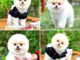 Teddy bear safkan ırk garantili boo Pomeranian yavrumuz