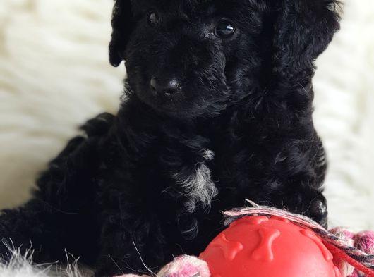 Tüy yumağı Black toy poodle dişi yavrumuz