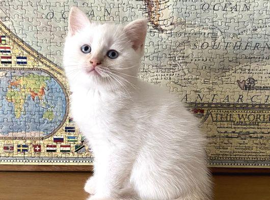 Scottish Fold BluePoint Dişi ve Beyaz British Erkek yavrumuz