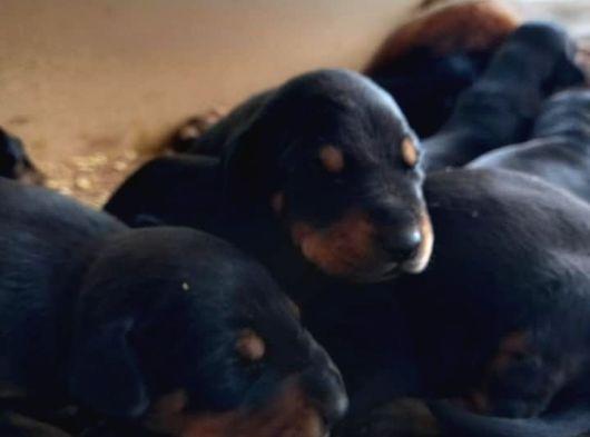 Üreticiden Rezerveye Açık King Doberman Yavruları