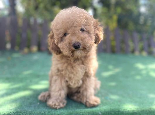 Toy Poodle Irk Garantili Yavrular