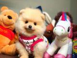 Miniboy Pomeranian boo yavrularımız