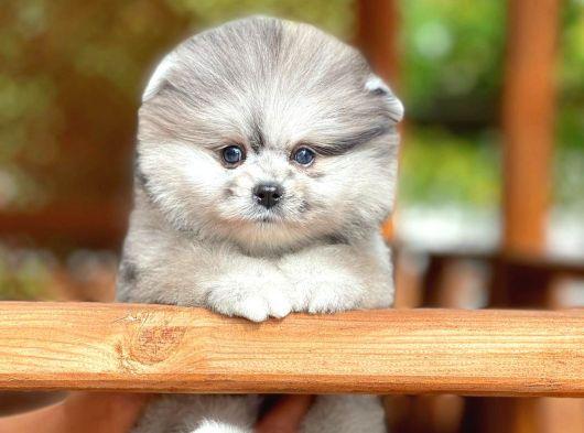 Özel merle rengine sahip ırk garantili Pomeranian boo yavrumuz