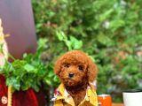 Erkek Red Brown Toy Poodle 'Tarçın'