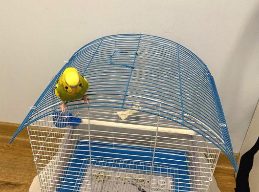 Konuşan erkek muhabbet kuşu