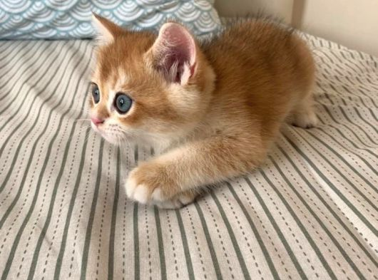 British Shorthair Golden- Eşsiz Yavru