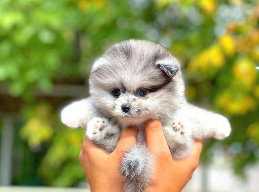 Merle Özel Renk Pomeranian Boo 'Fiona'