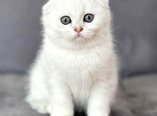 Muhteşem silver shaded scottish fold erkek yavrumuz