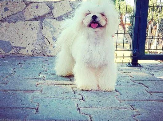 Teacup Maltese Terrier
