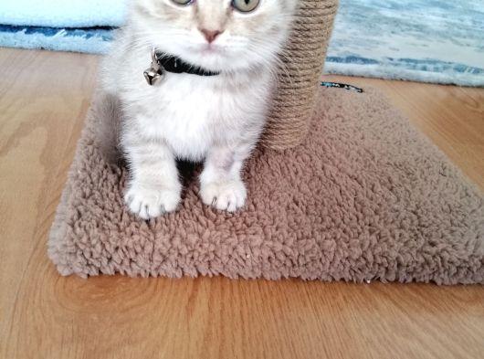 Scottish fold 2 bucuk aylik disi kedi