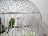 Çift Muhabbet Kuşu