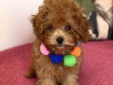 Oyuncu Zeki Toy Poodle Yavrular
