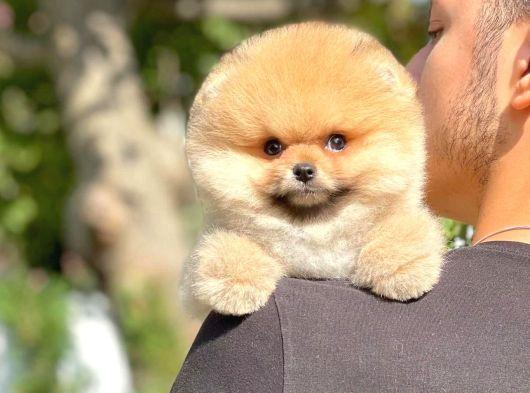 Pomeranian Boo Sevgisi