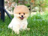 Dünyalar Güzeli Pomeranian Boo yavrumuz