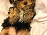 ev doğumlu yorkshire terrier 2 aylık