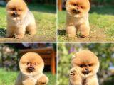 Teddy bear surat Pomeranian boo yavrumuz