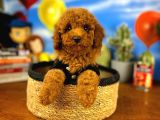 Mini boy red brown toy poodle yavrumuz