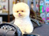 Enerji veren Yüz güldüren Pomeranian Boo yavrumuz