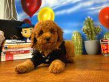 Eniyi Moral Motivasyon Kaynağı Red Toy Poodle Yavrumuz