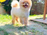 Özlenen Neşe ve Keyif Pomeranian Boo yavrumuz