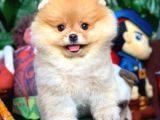Pomeranian Boo Oğlumuz Bonbaı