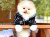 Irk ve Sağlık garantili Enerjik oyuncu Pomeranian Boo