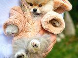 Efsane Güzellikte Safkan Pomeranian Boo yavrumuz